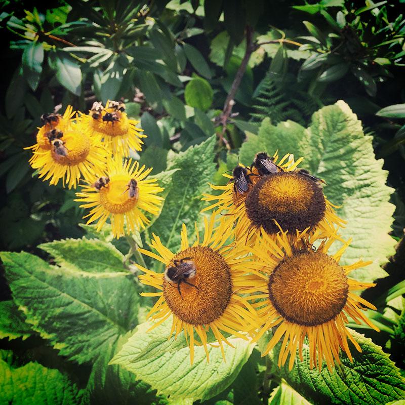 Wenn der Sommer auf Hochtouren und die Blüten reif sind, werden Hummeln zu Alkoholikern. Zu Massen berauschen sie sich am süßen vergorenen Saft. Und da sage einer, die wären fleißig. Suffunken sind das!