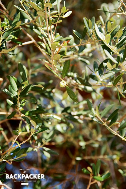 Uralte, knochige Oliven – vermutlich aus der Zeit, als das Dorf noch bewohnt war – säumen Weg und Ruinen.