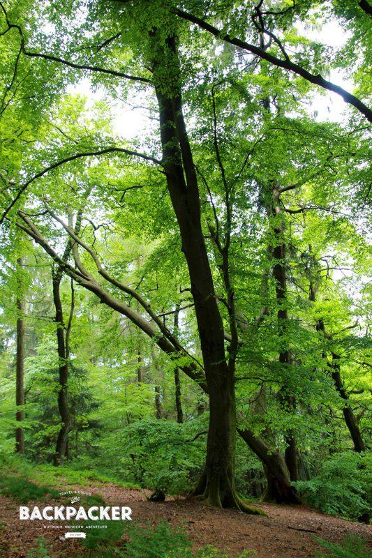 Dichte Wälder und alte Bäume – Optische Leckerbissen wie diese findet der offenäugige Wanderer im Teutoburger Wald zuhauf.