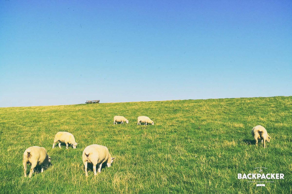 Noch nie habe ich so viel Nahrung direkt neben dem Endprodukt der Verdauung gesehen – Schafe beim Grasen in der eigenen Schei...