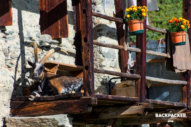Ob Wachhund oder Ziege ist mancherorts völlig egal. Respekteinflößend sitzt der Bock vor der Hütte.