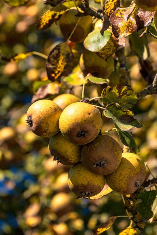 Vom Grand Canal führt ein mit Obstbäumen gesäumter Weg zum Augustiner Herrenstift. Ist zwar verboten, sie zu pflücken, aber die Birnen haben einfach zu köstlich geschmeckt.