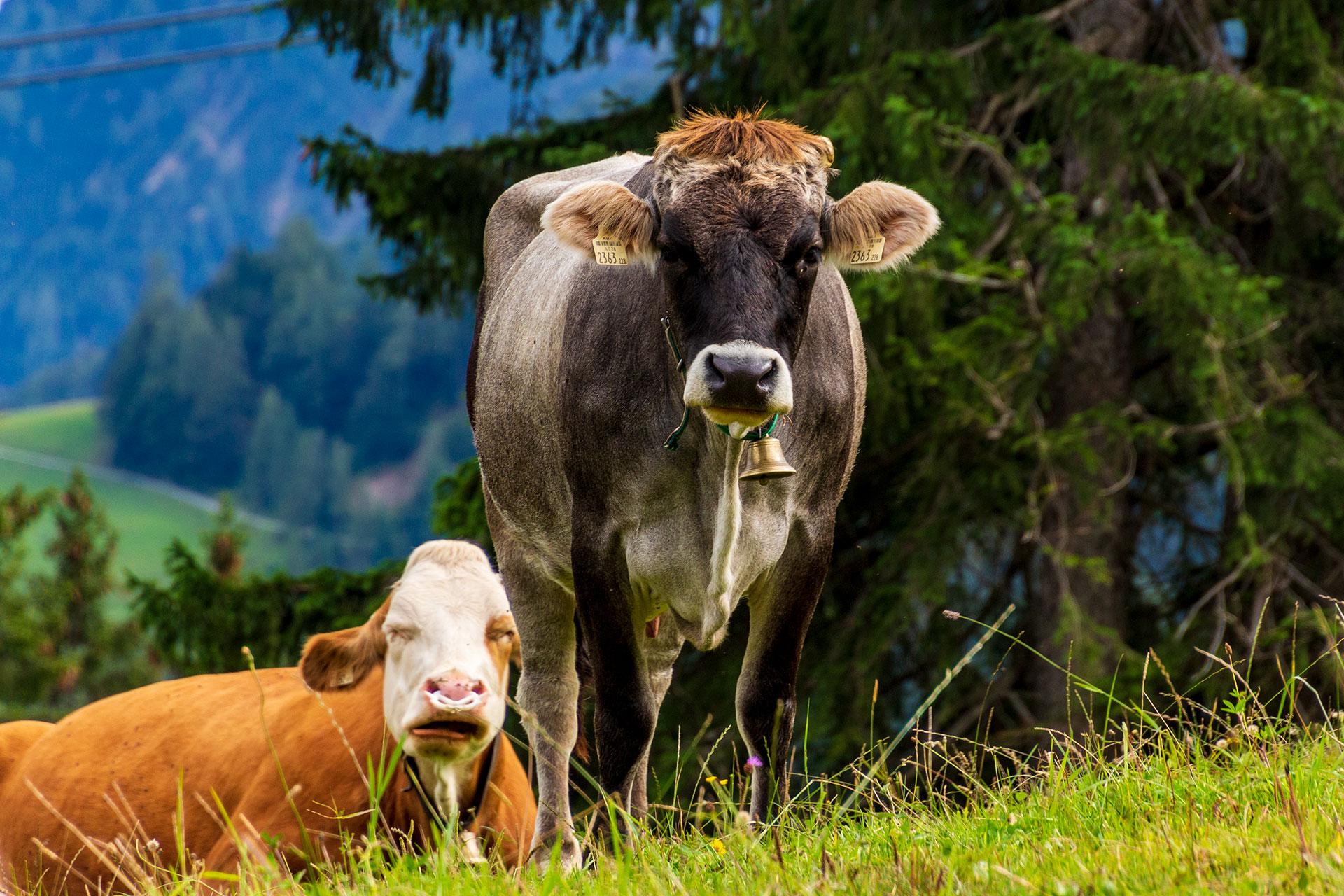 Die Alpen ohne ihre Kühe? Unvorstellbar.