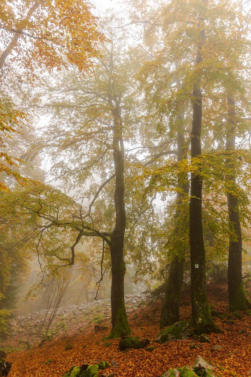 Buchen sollst Du nicht nur bei Gewitter suchen, sondern ganz besonders im Herbst.