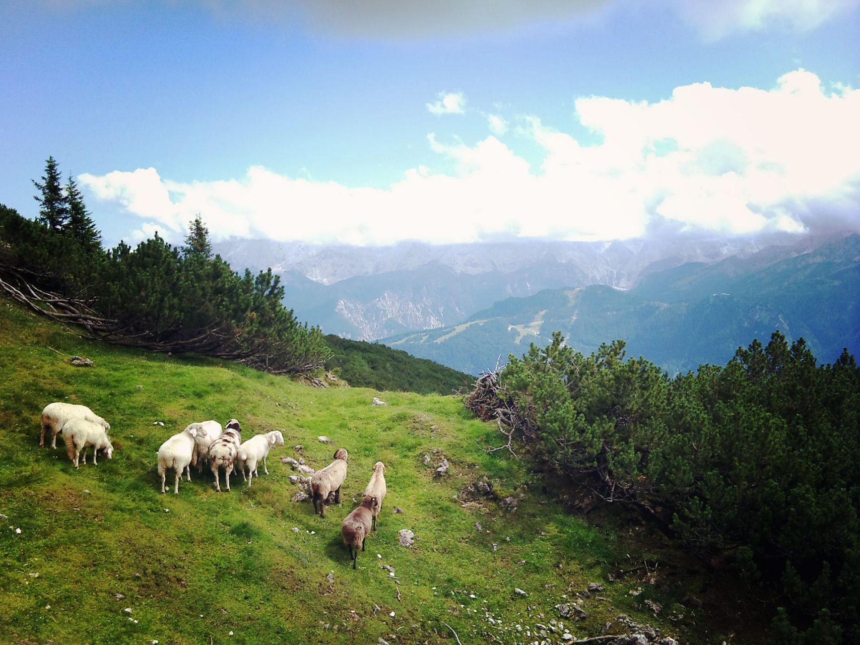 Ob Schafe vorher auf Höhentauglichkeit getestet werden? Oder erwartet man einfach von denen, dass die in 2000 Höhenmeter weiterhin das tun, was Schafe nunmal so tun? Nämlich Fressen und Scheißen. Letzteres am liebsten direkt auf den Weg. Und der war schon schmal genug.
